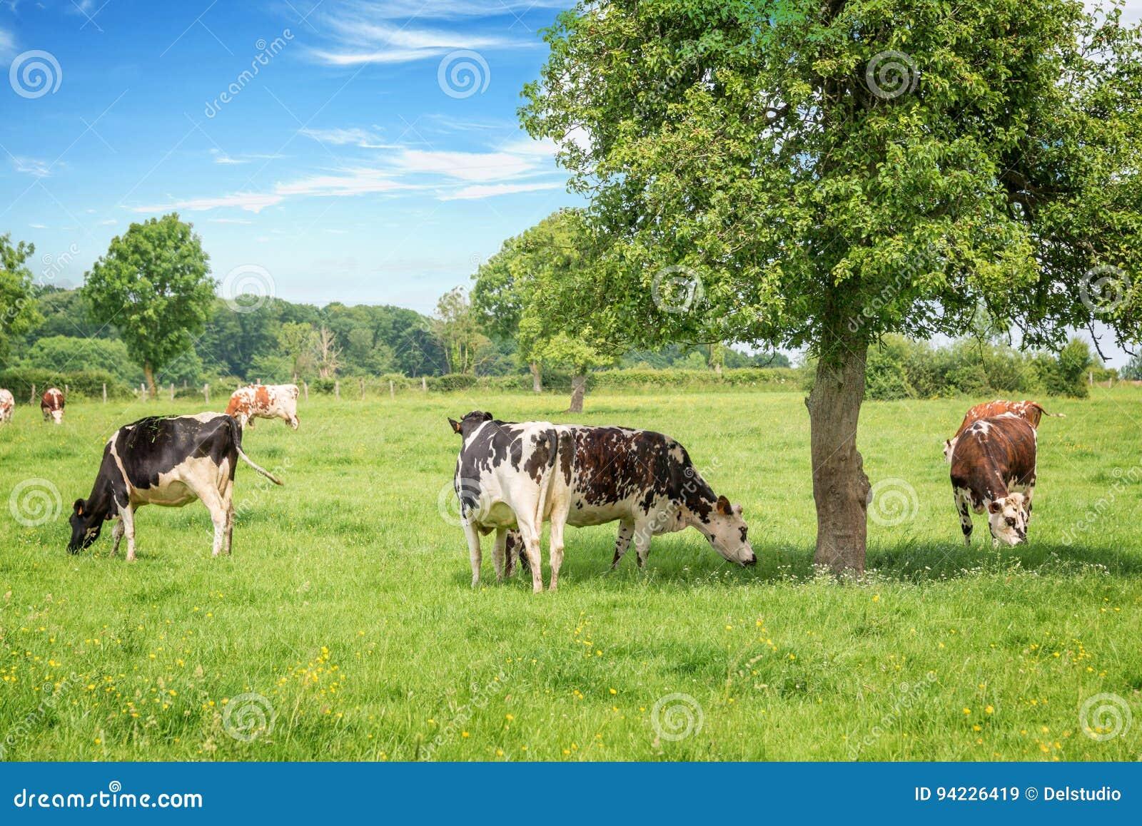 Vacas blancos y negros normandas que pastan en campo verde herboso con los árboles en un día soleado brillante en Normandía, Fran