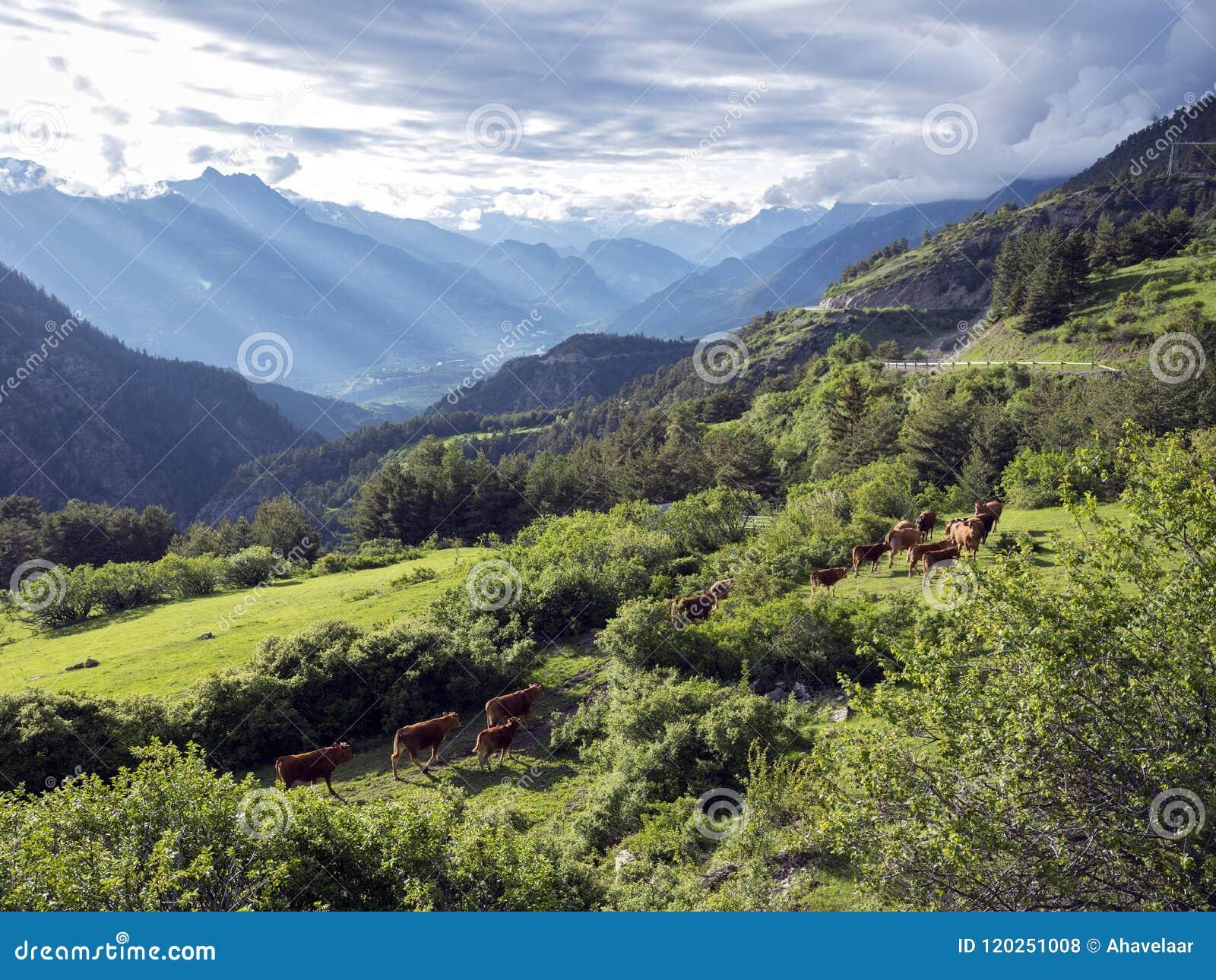 Vacas de Brown no prado da montanha perto dos vars nos cumes de Haute Provence