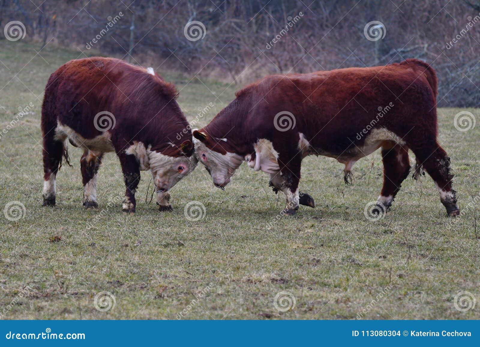 VACAS de HEREFORD - luta de touros nova e poder de medição