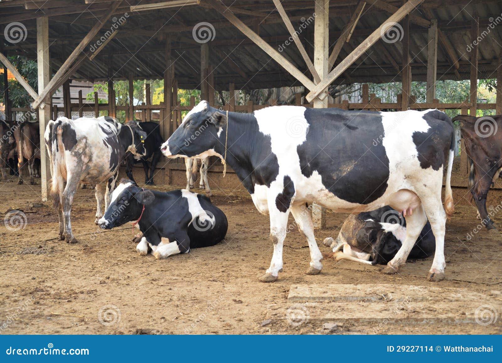 Download Vacas De Leite Que Estão Na Terra. Foto de Stock - Imagem de estar, agricultura: 29227114