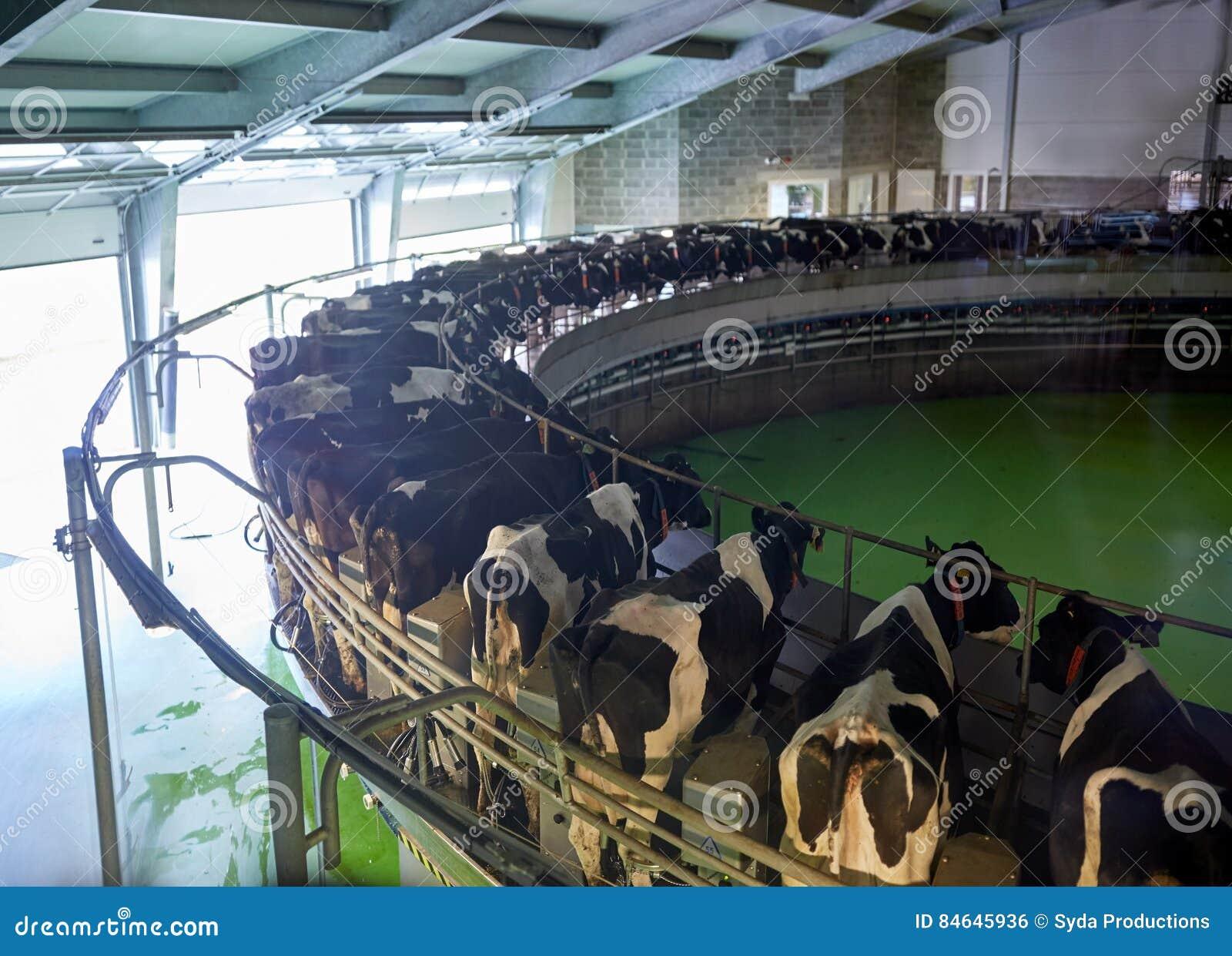 Vacas De Ordenha No Sistema Girat Rio Da Sala De Estar Da Explora O  -> Planta De Sala De Ordenha