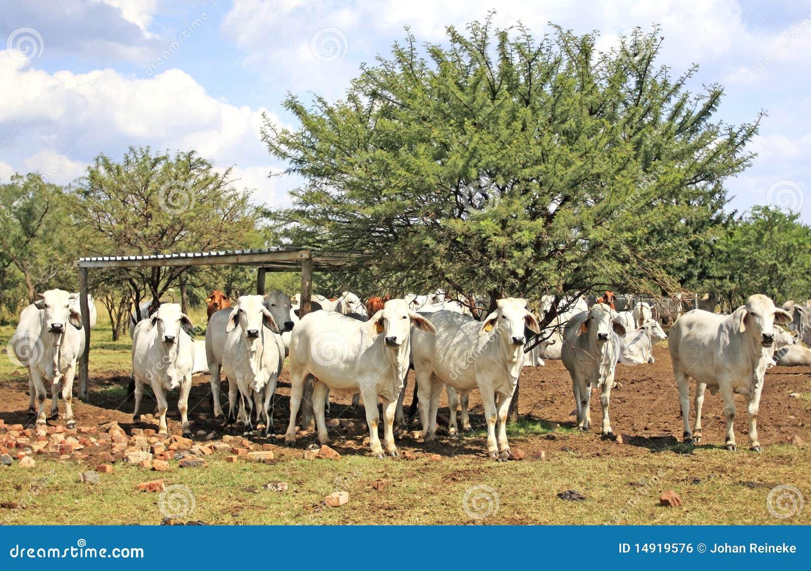 Vacas do Brahman