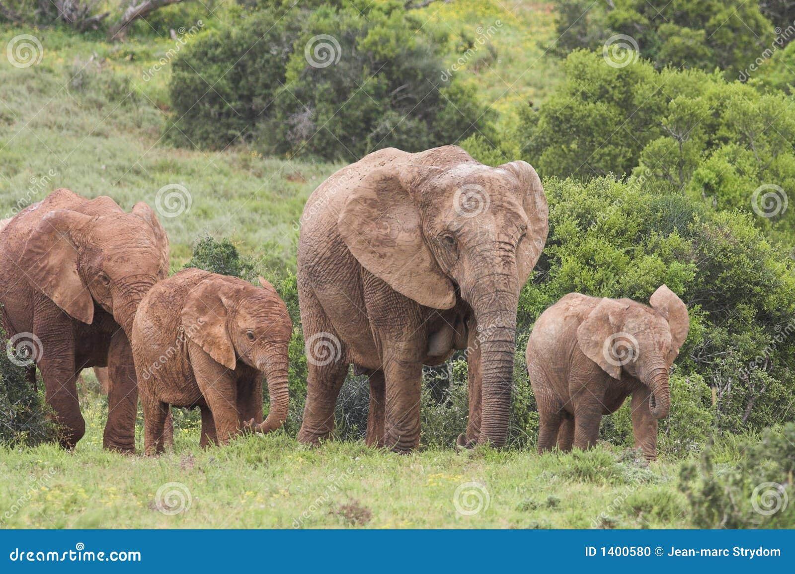 Vacas do elefante