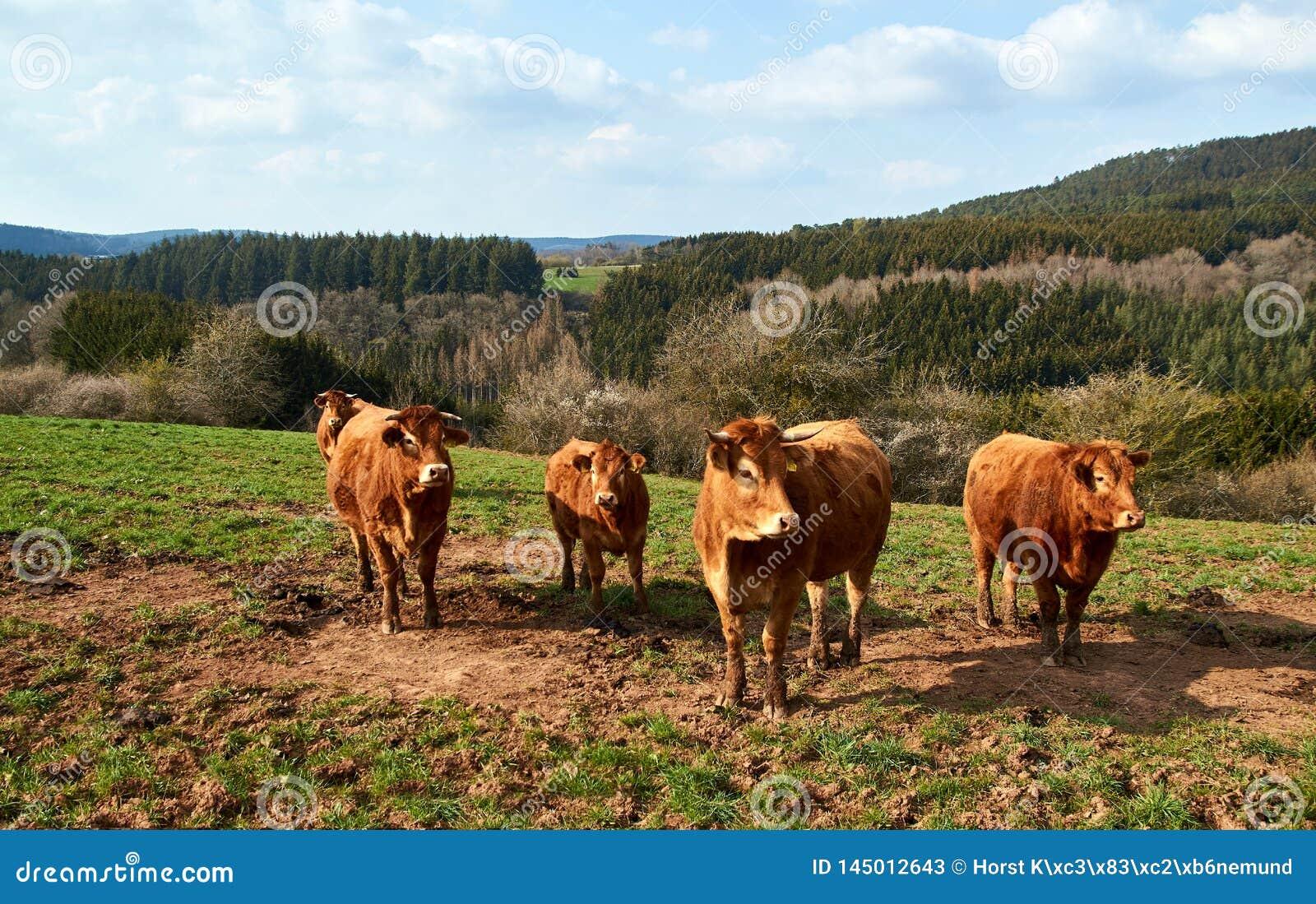 Vacas e gado de Brown em um dia de mola em Alemanha