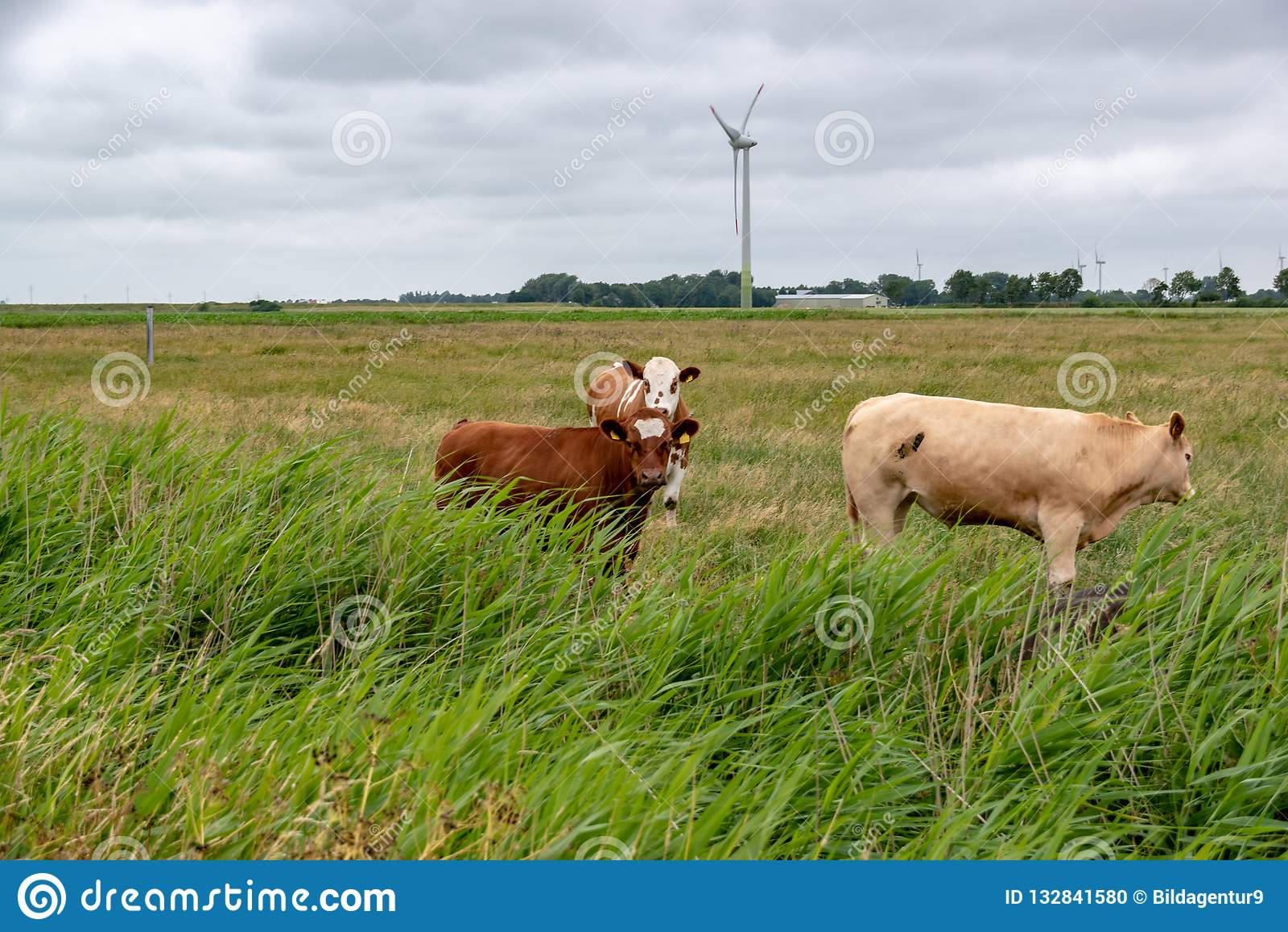 Vacas em um pasto em Alemanha