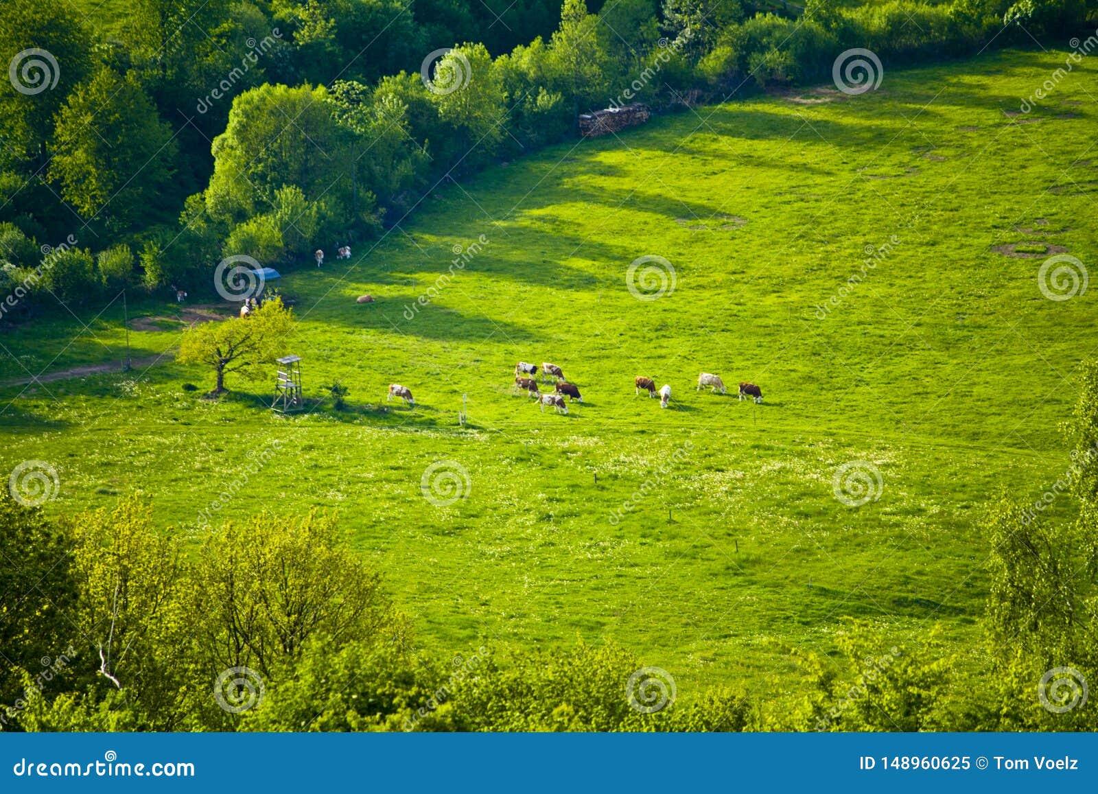 Vacas em um pasto id?lico da montanha em Baviera