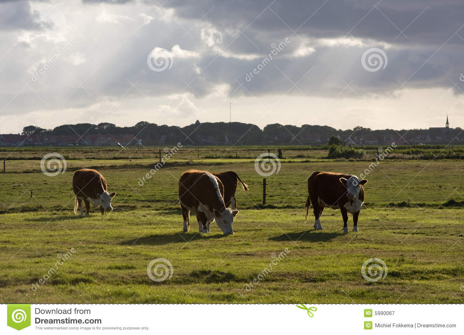 Vacas em um prado em Ameland