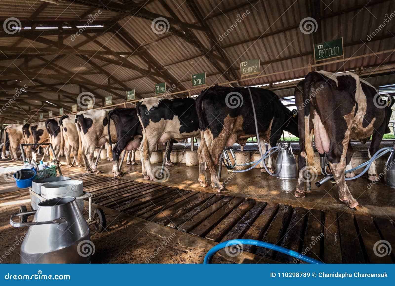 Vacas em uma exploração agrícola de leiteria