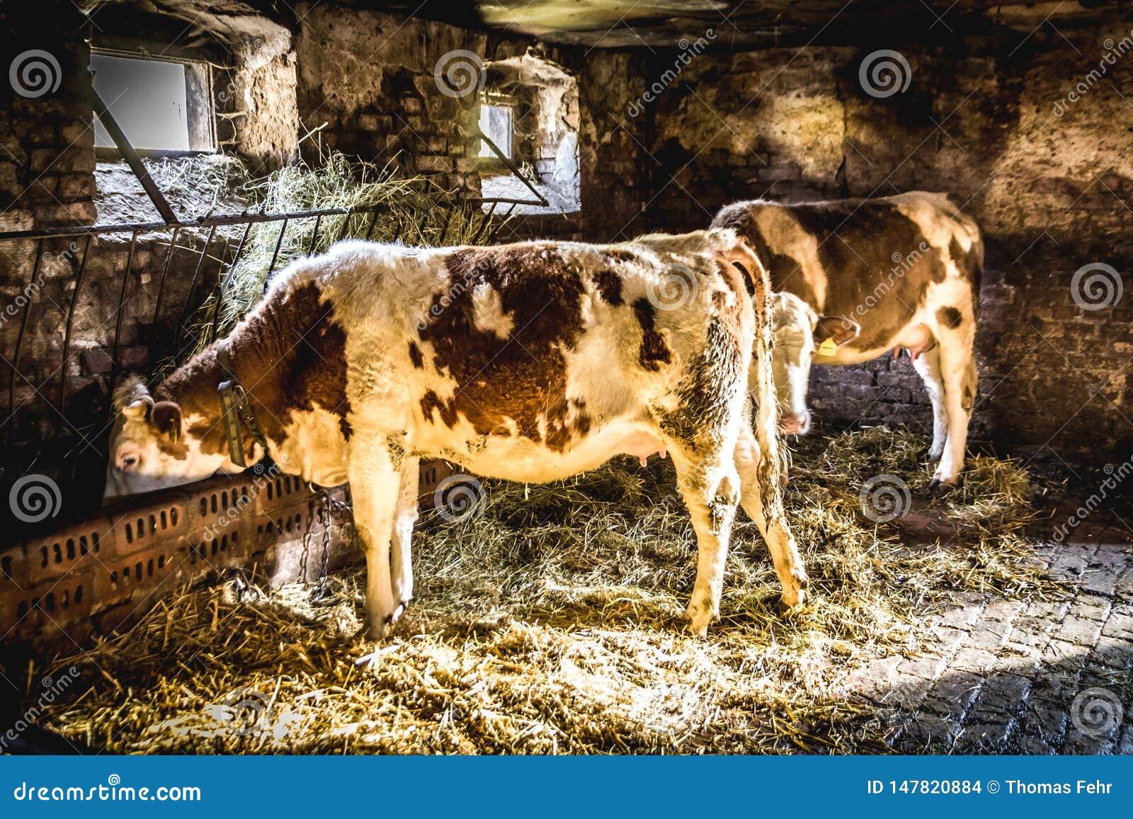 Vacas em uma explora??o agr?cola