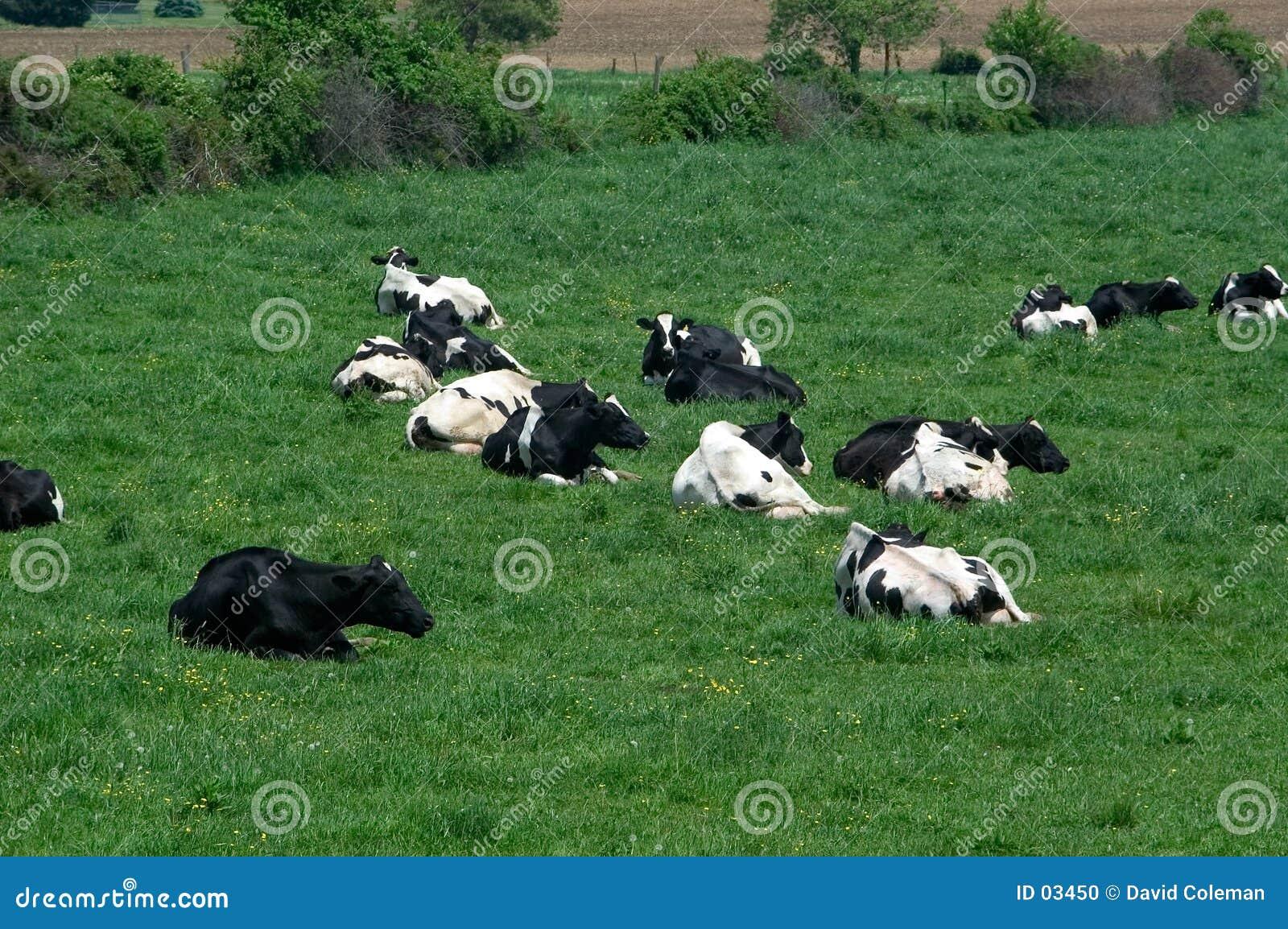 Vacas en campo en descanso