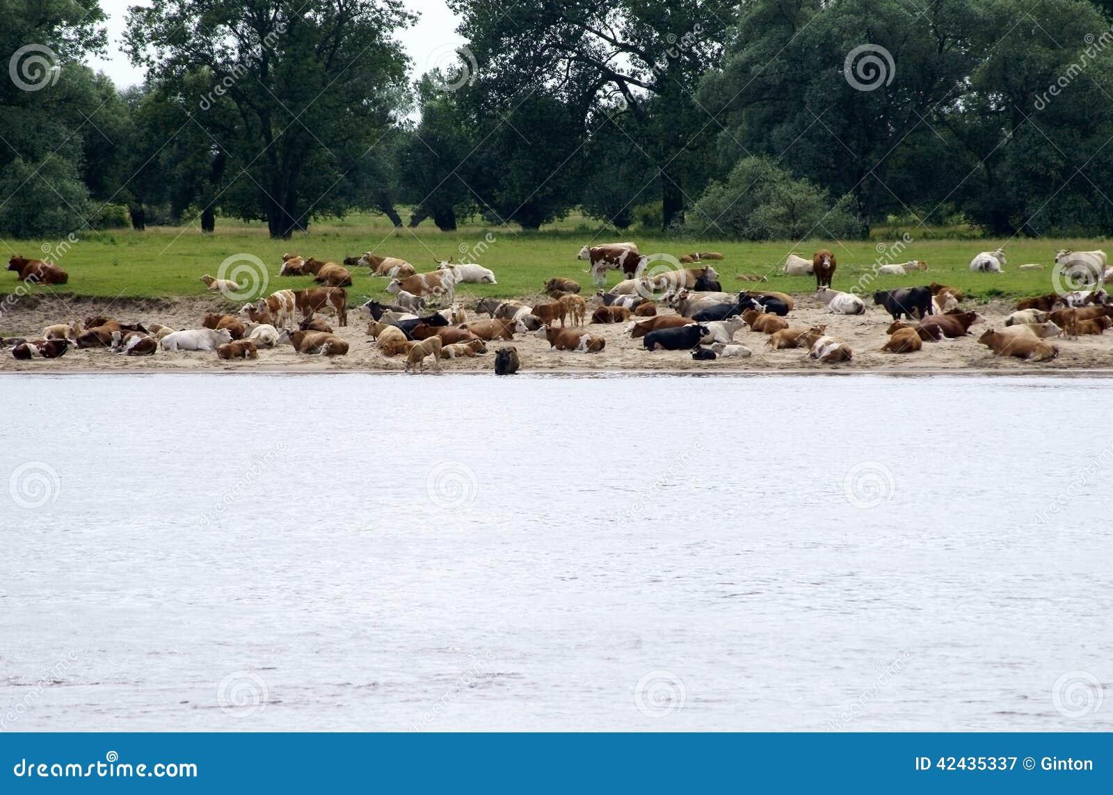 Vacas en el banco de arena