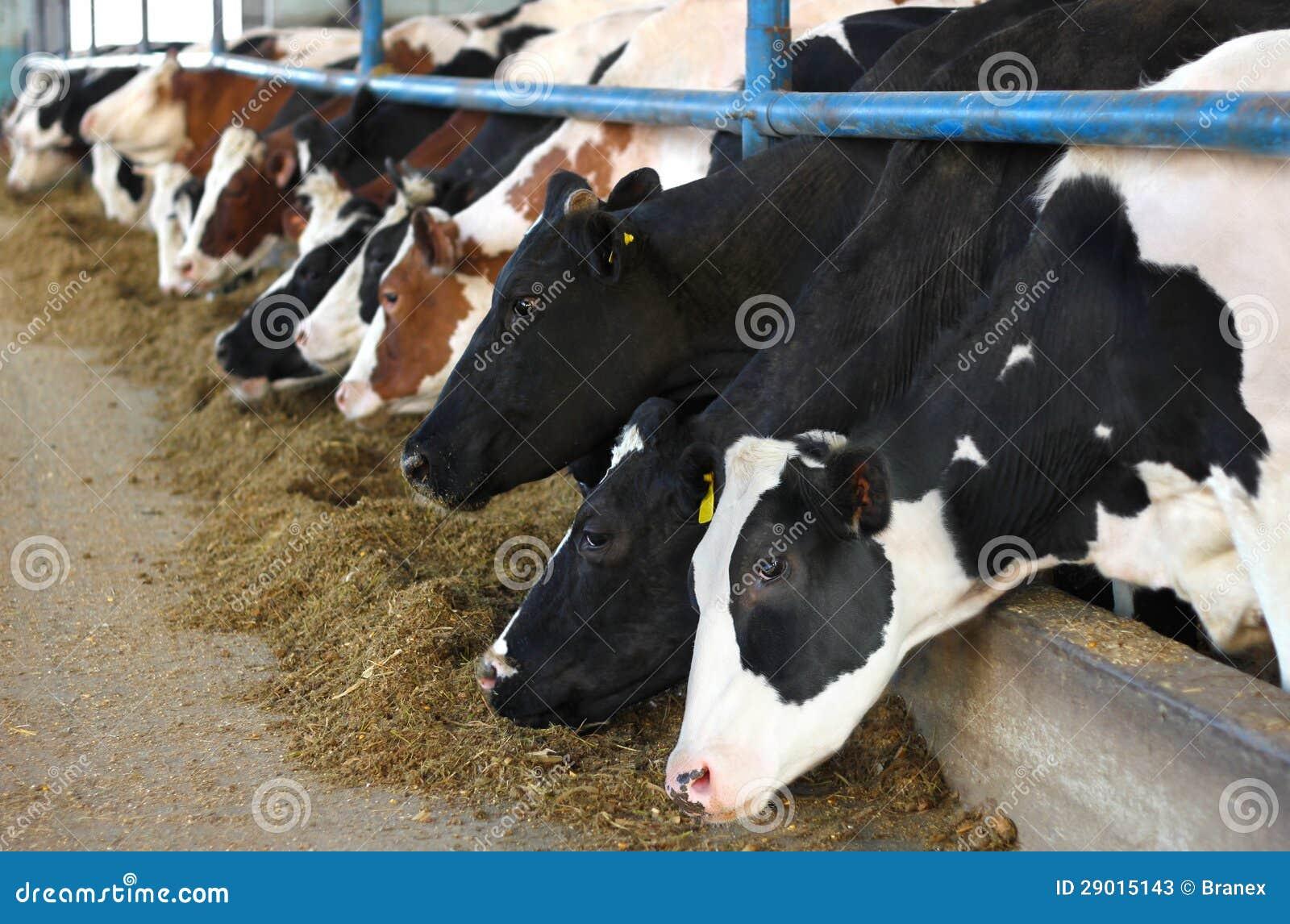 Vacas en granja