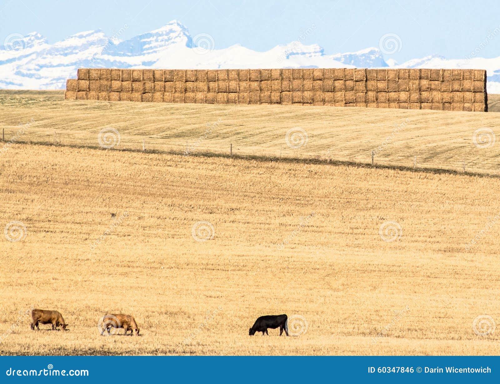 Vacas en la pradera, Alberta, Canadá