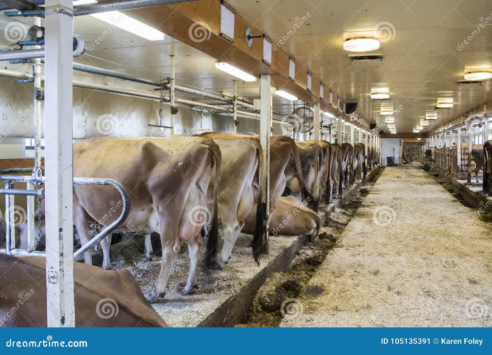 Vacas en paradas en el ordeño del granero