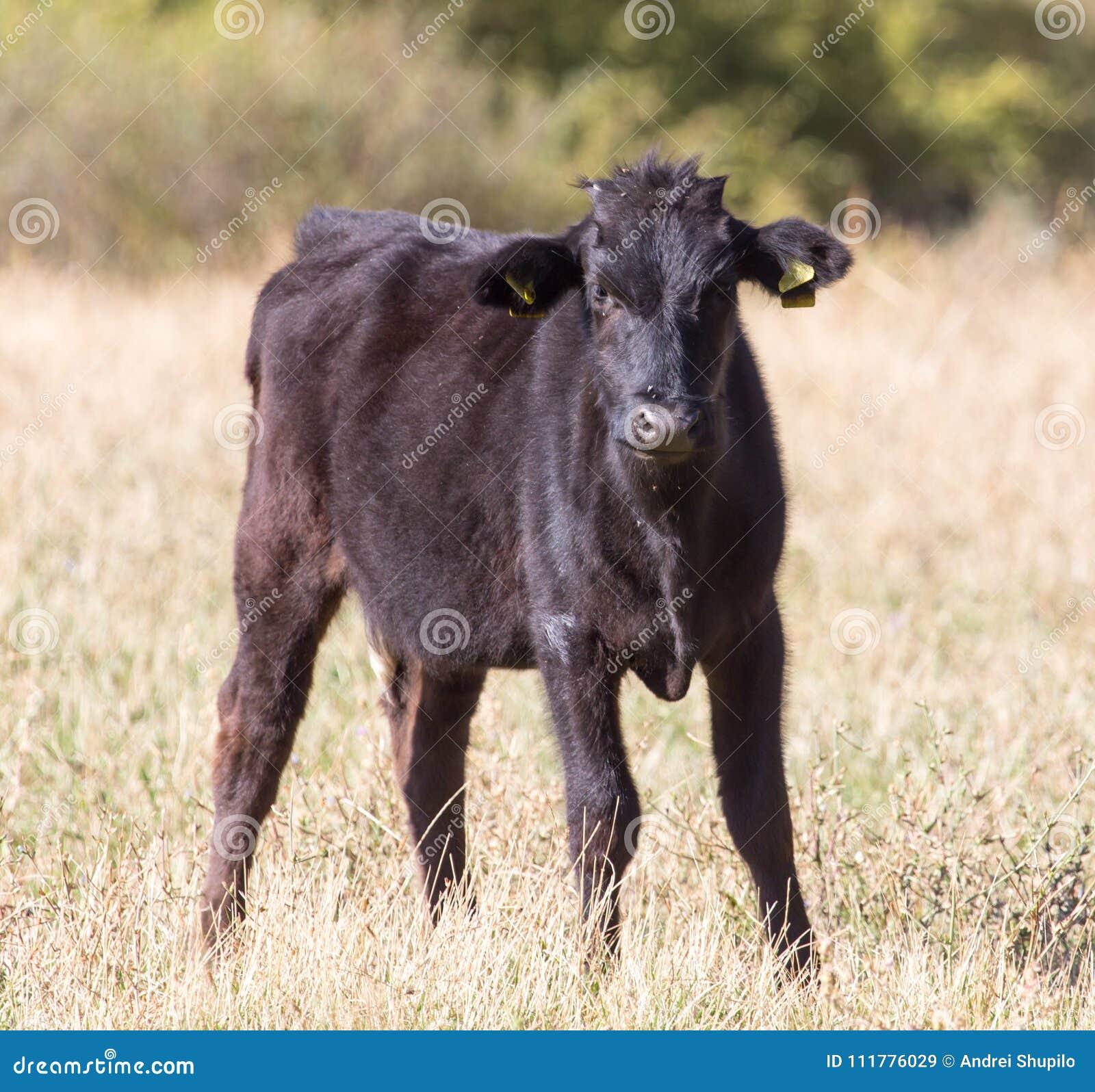 Vacas en pasto en la caída