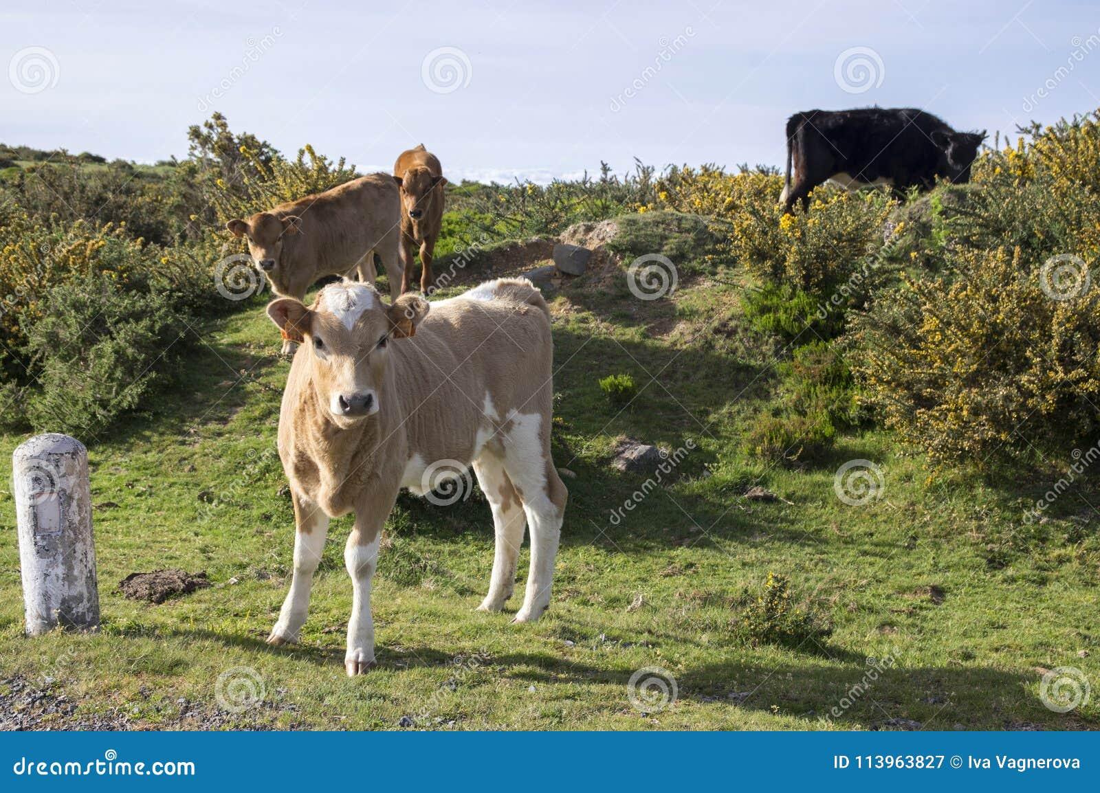 Vacas en pasto en la isla de Madeira