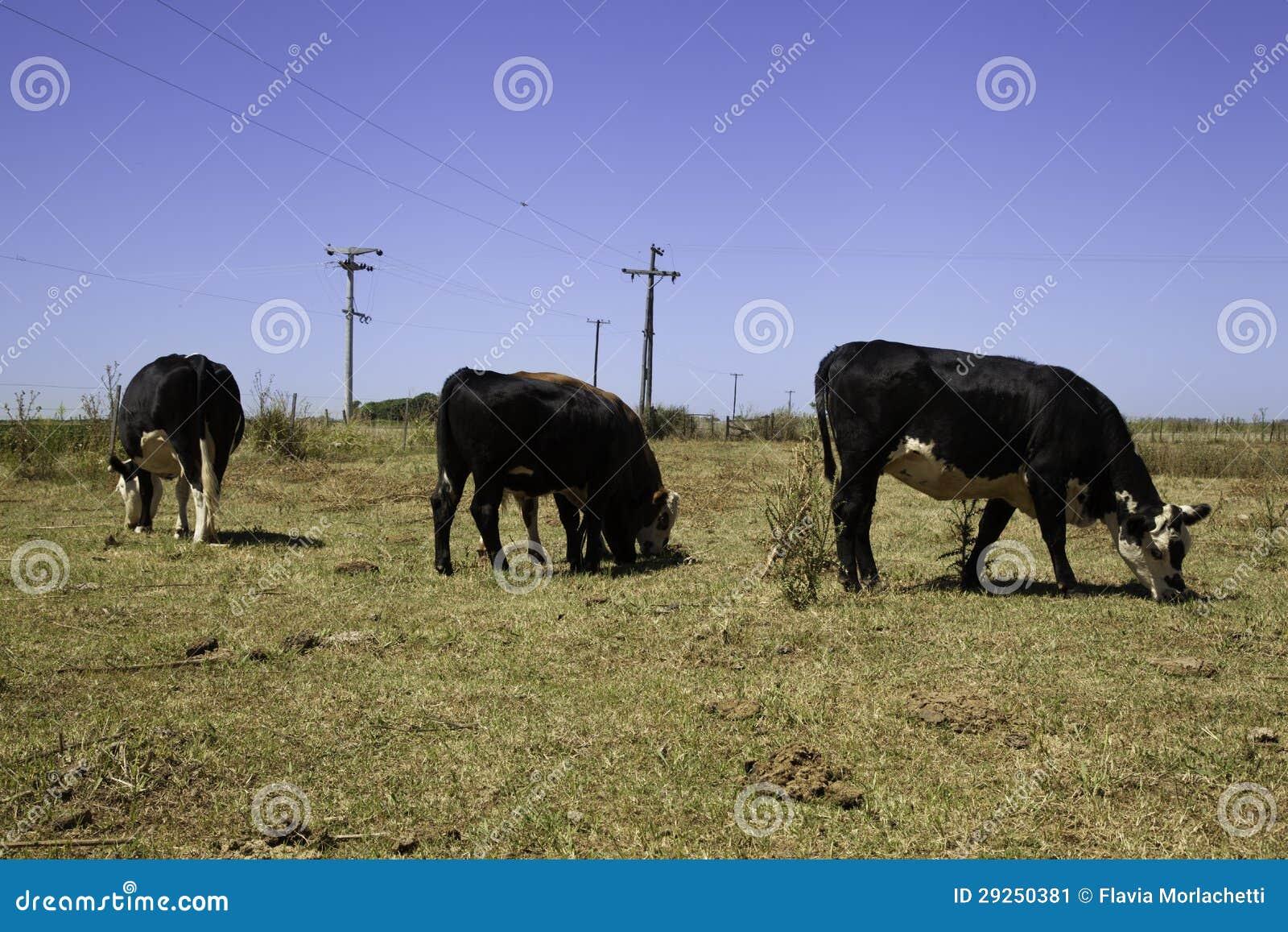 Vacas en pradera