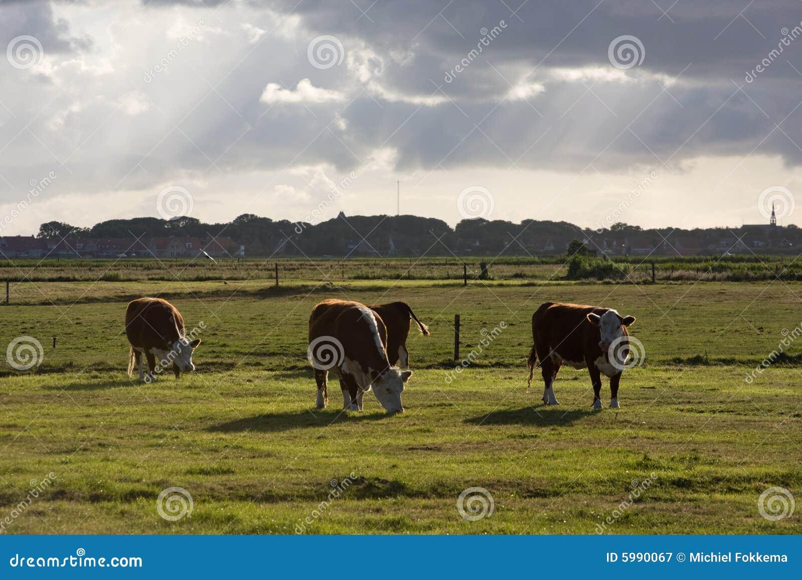 Vacas en un prado en Ameland