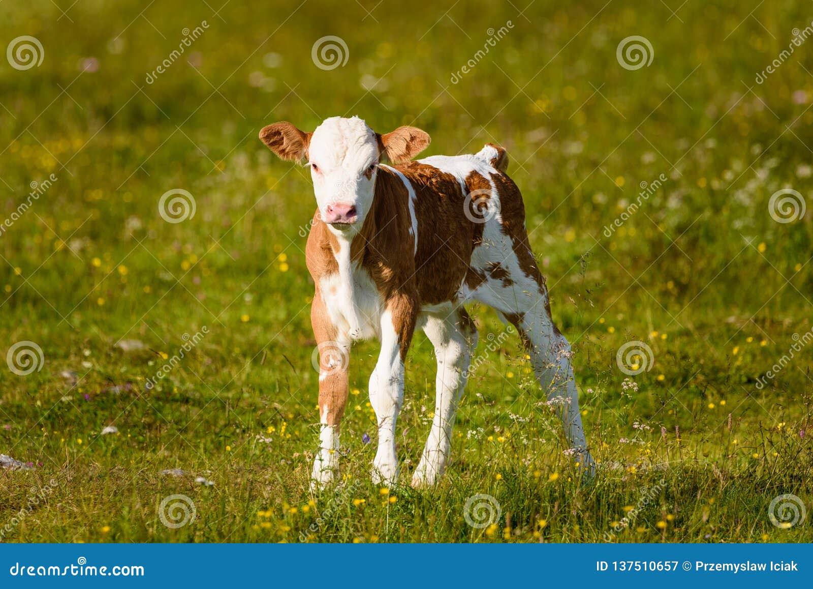 Vacas en un prado en las montañas Austria