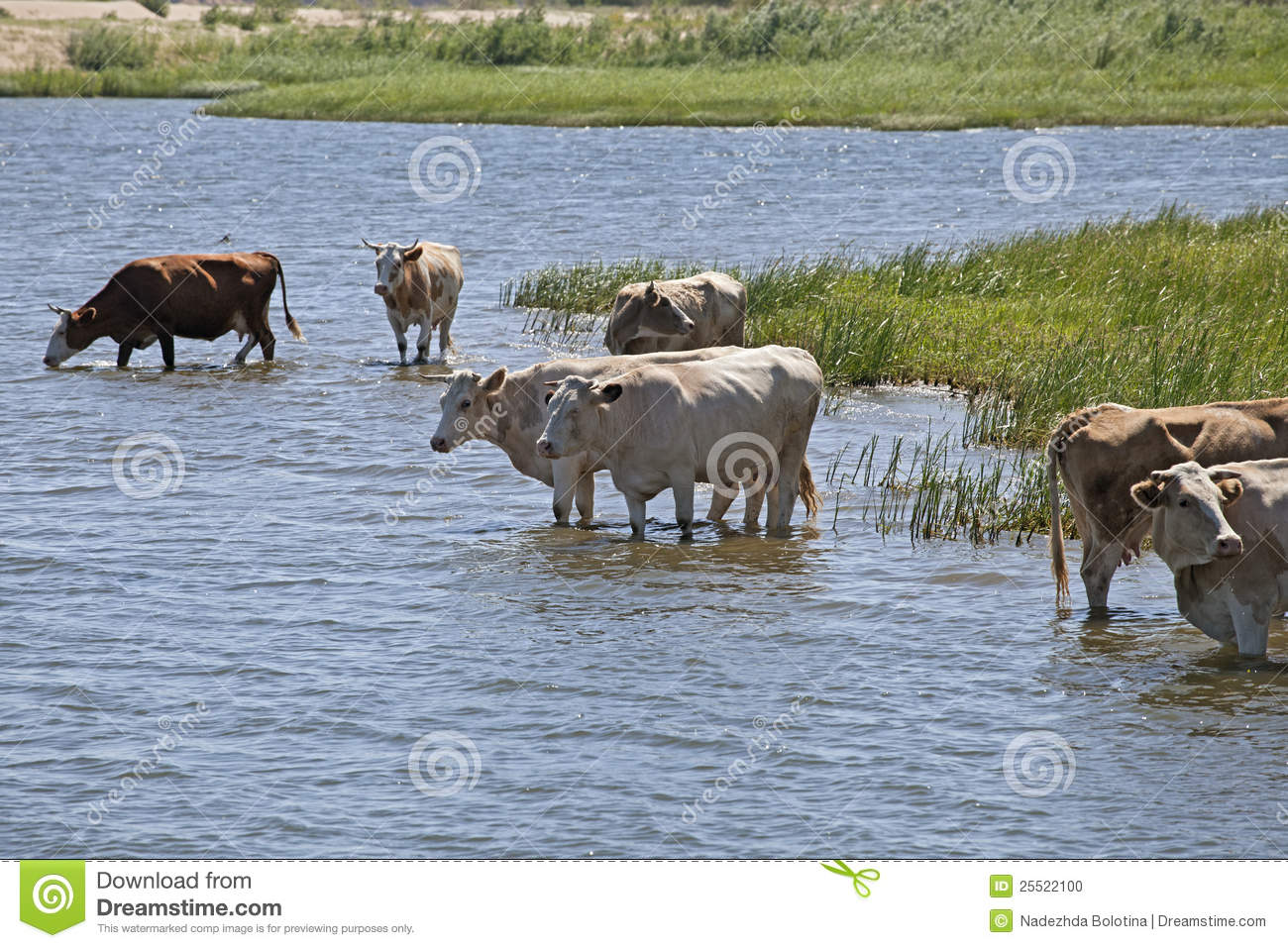 Vacas en un riverbank