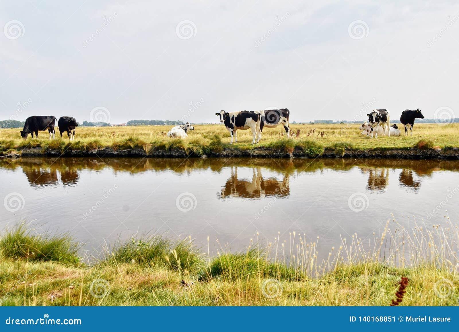 Vacas holandesas