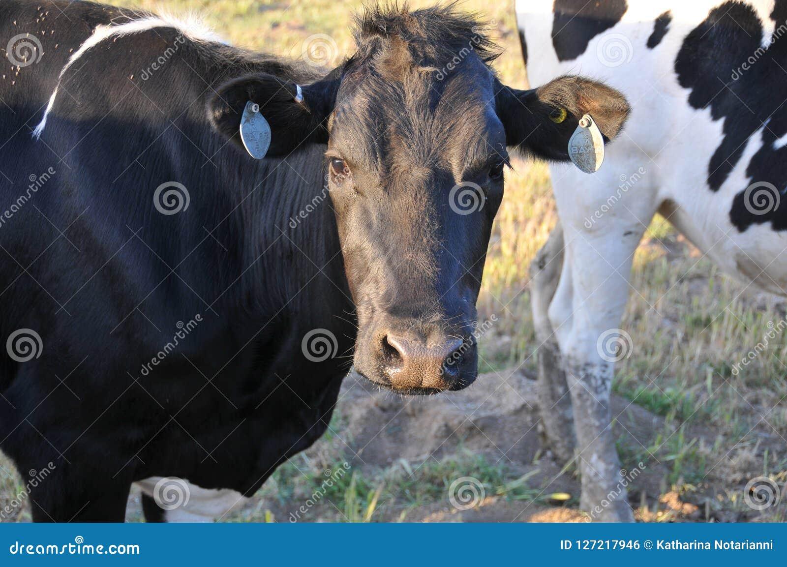 Vacas lecheras de la gama libre que pastan en un campo