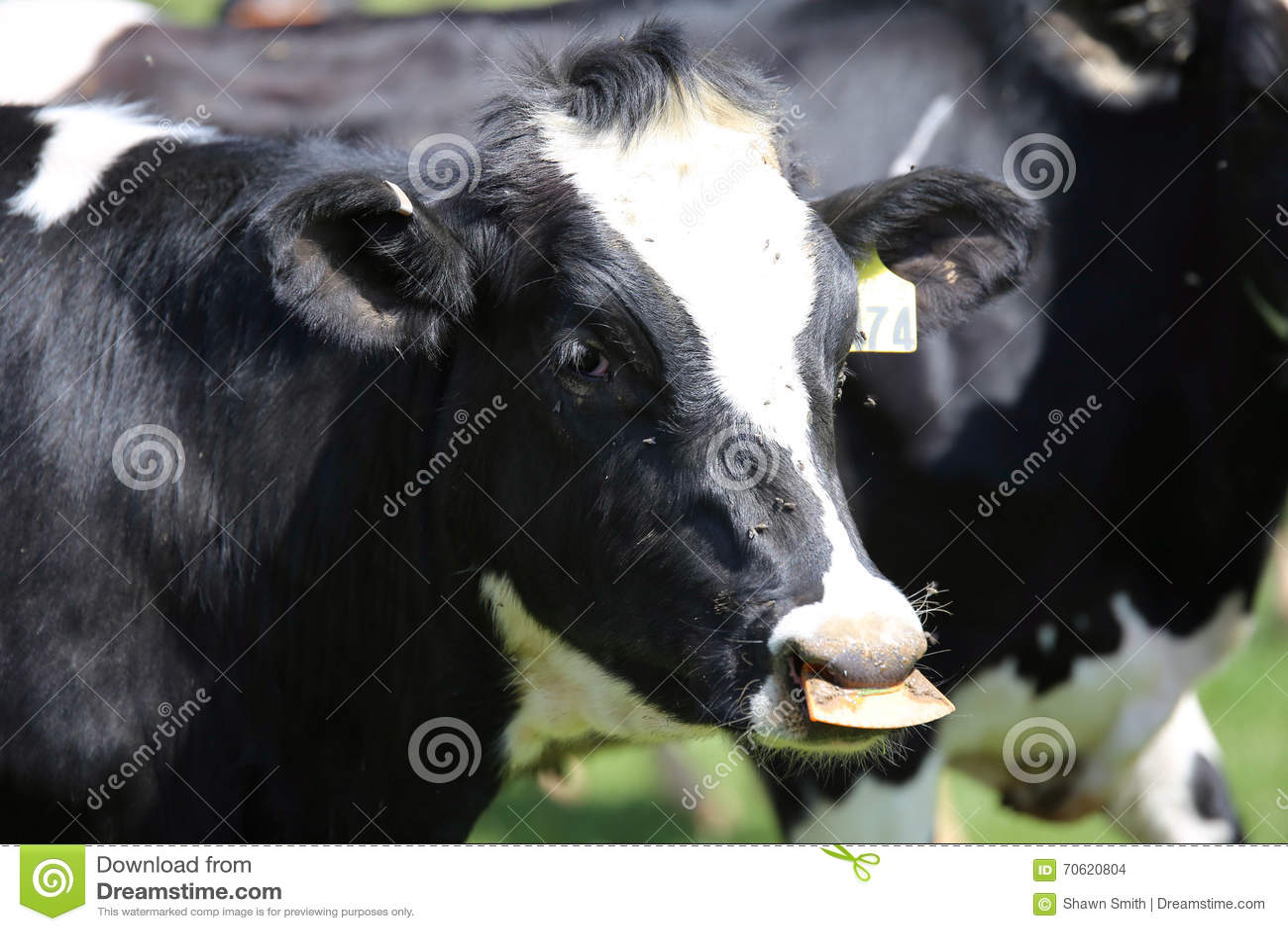 Vacas lecheras de Ohio