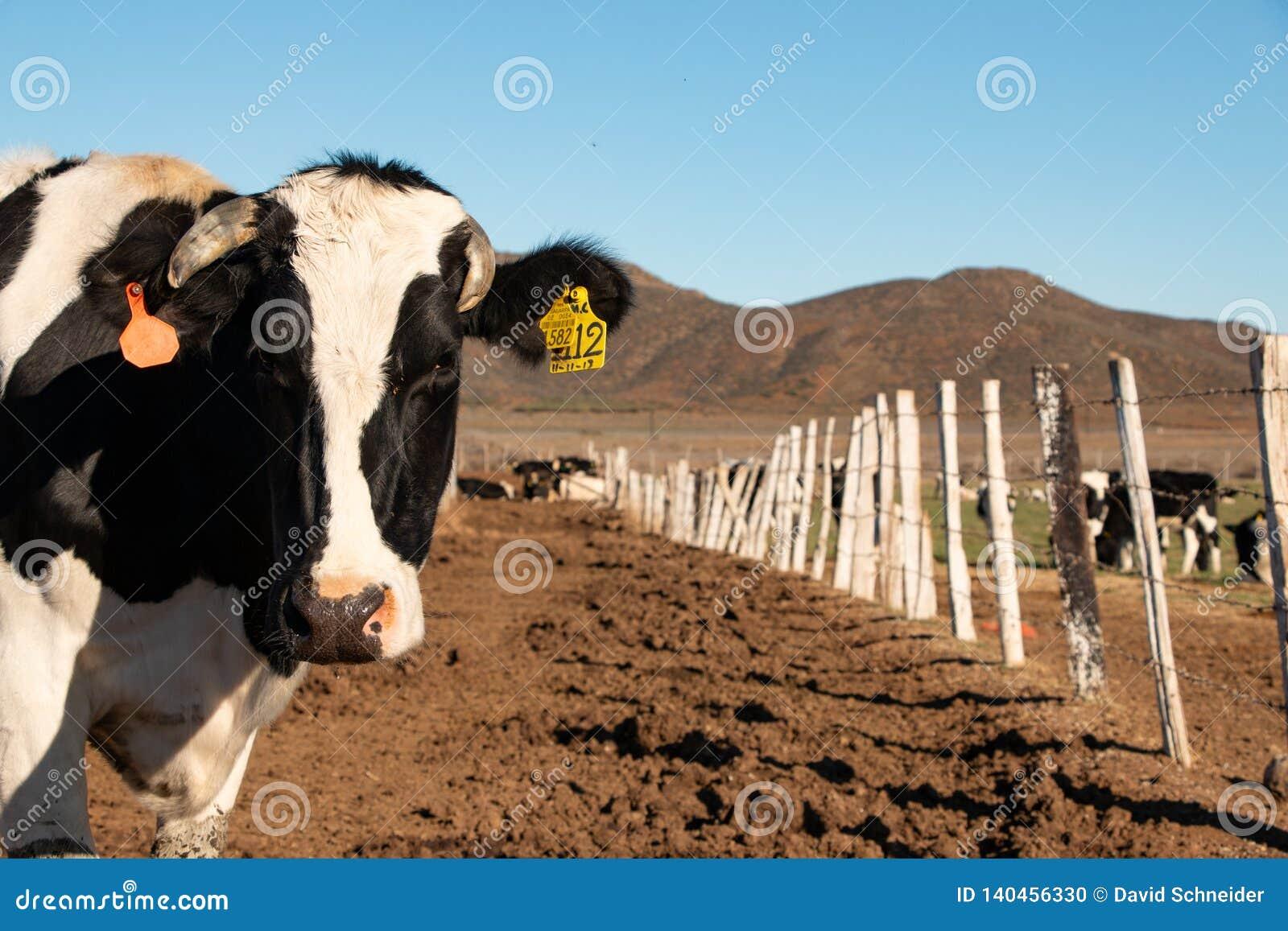 Vacas lecheras en un rancho de la producción de queso en Ojos Negros, México