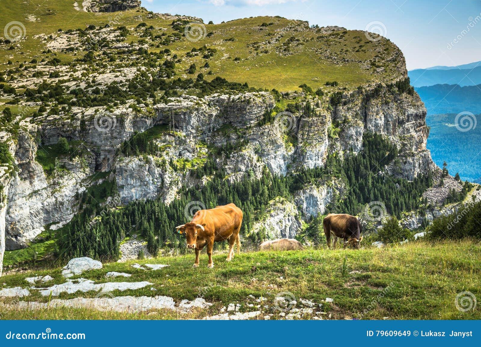 Vacas nas montanhas - pyrenees, Espanha
