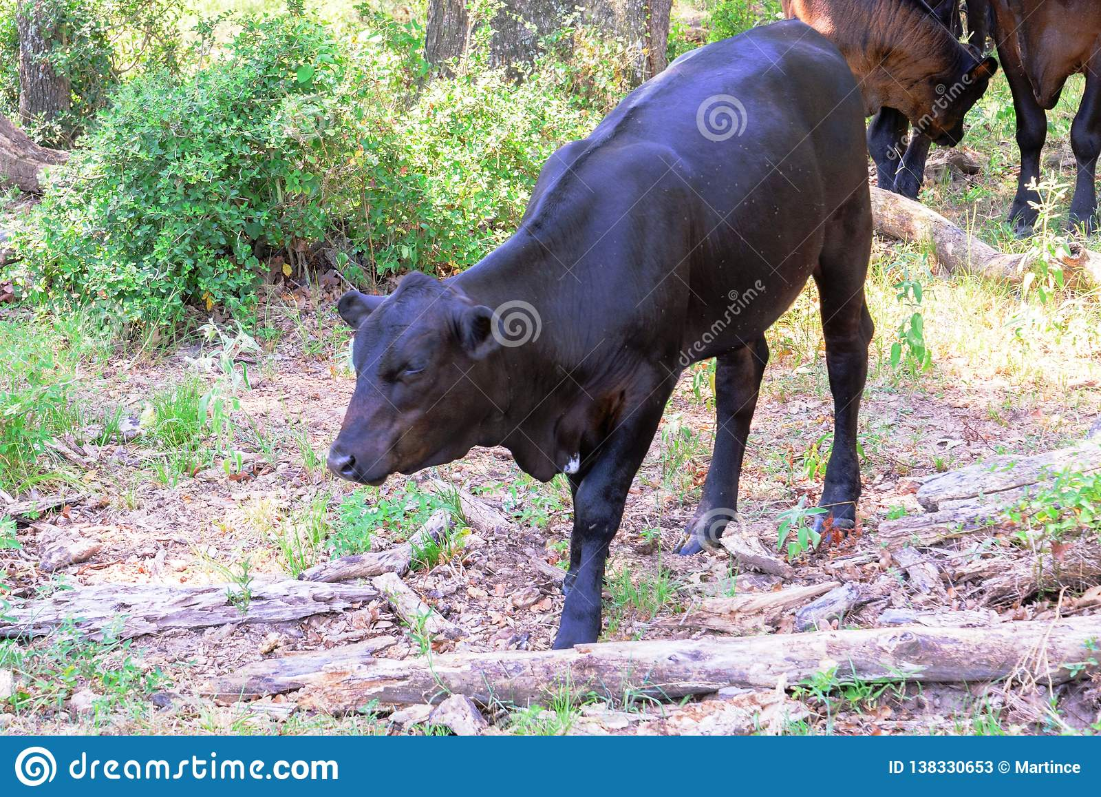 Vacas negras que vagan por en un rancho con la hierba y los árboles