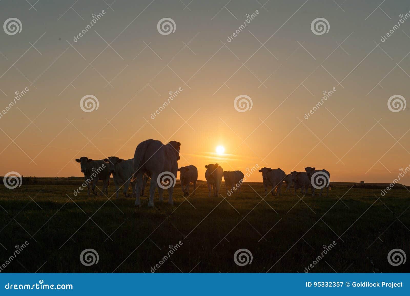 Vacas no crepúsculo