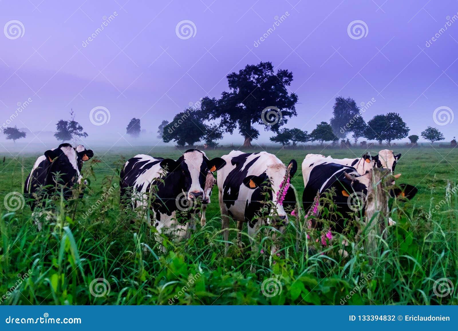 Vacas normandas