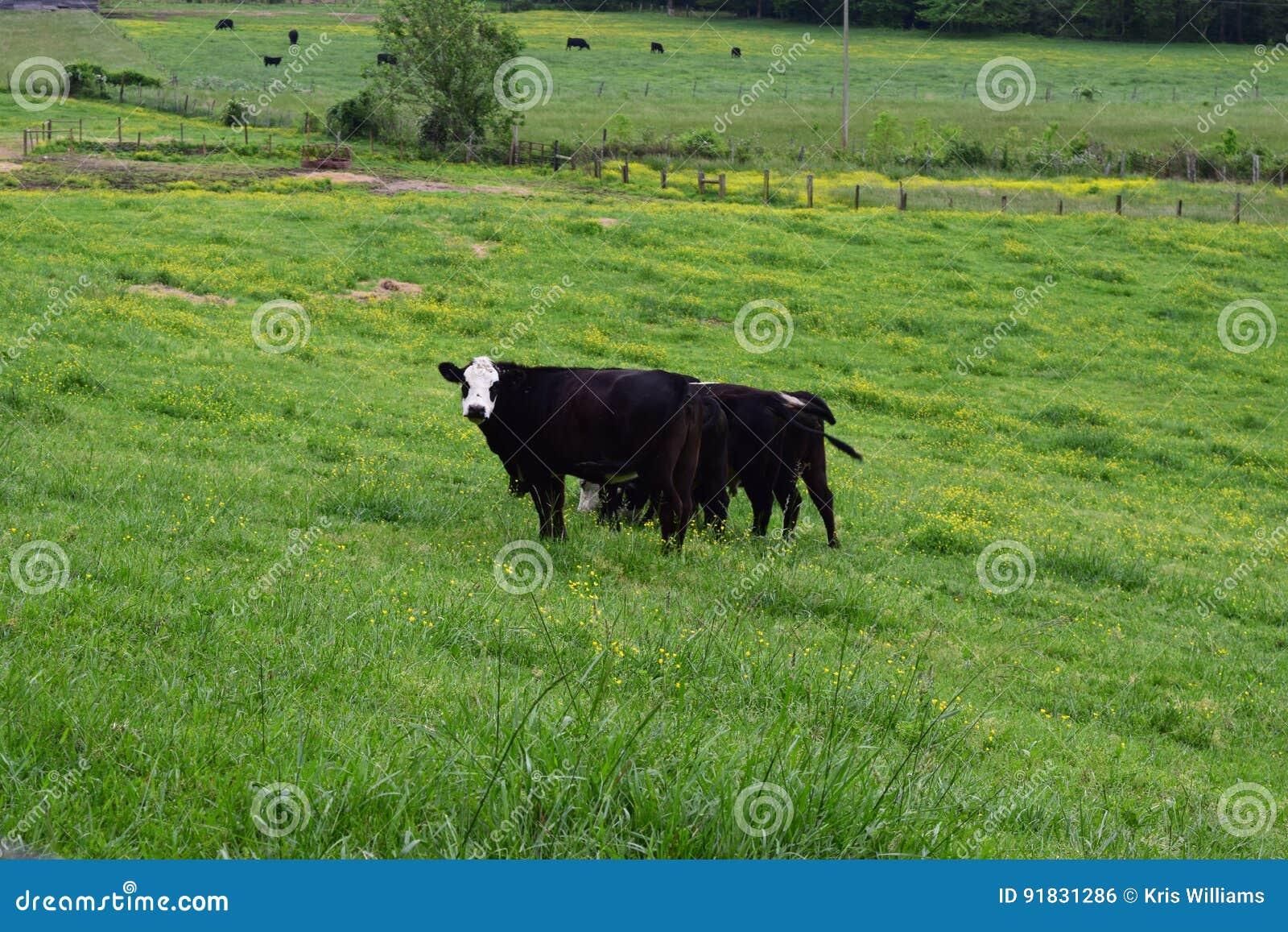 Vacas occidentales de la granja del NC que pastan