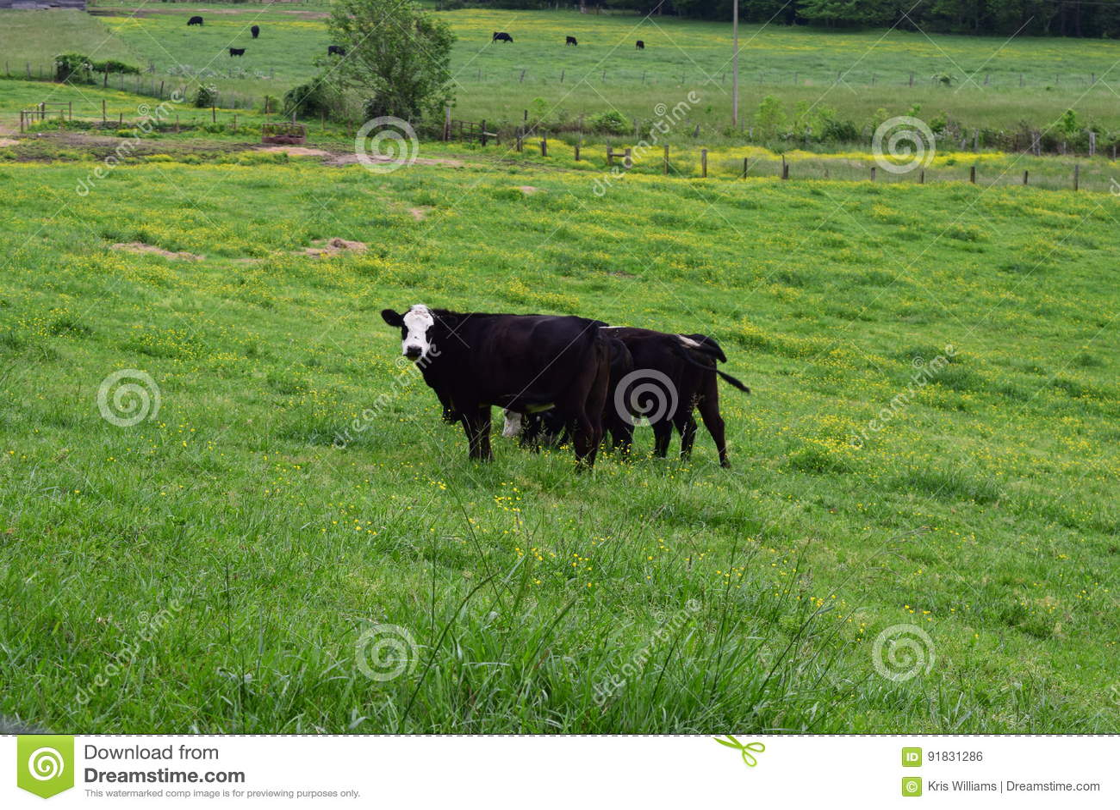 Vacas ocidentais da exploração agrícola do NC que pastam