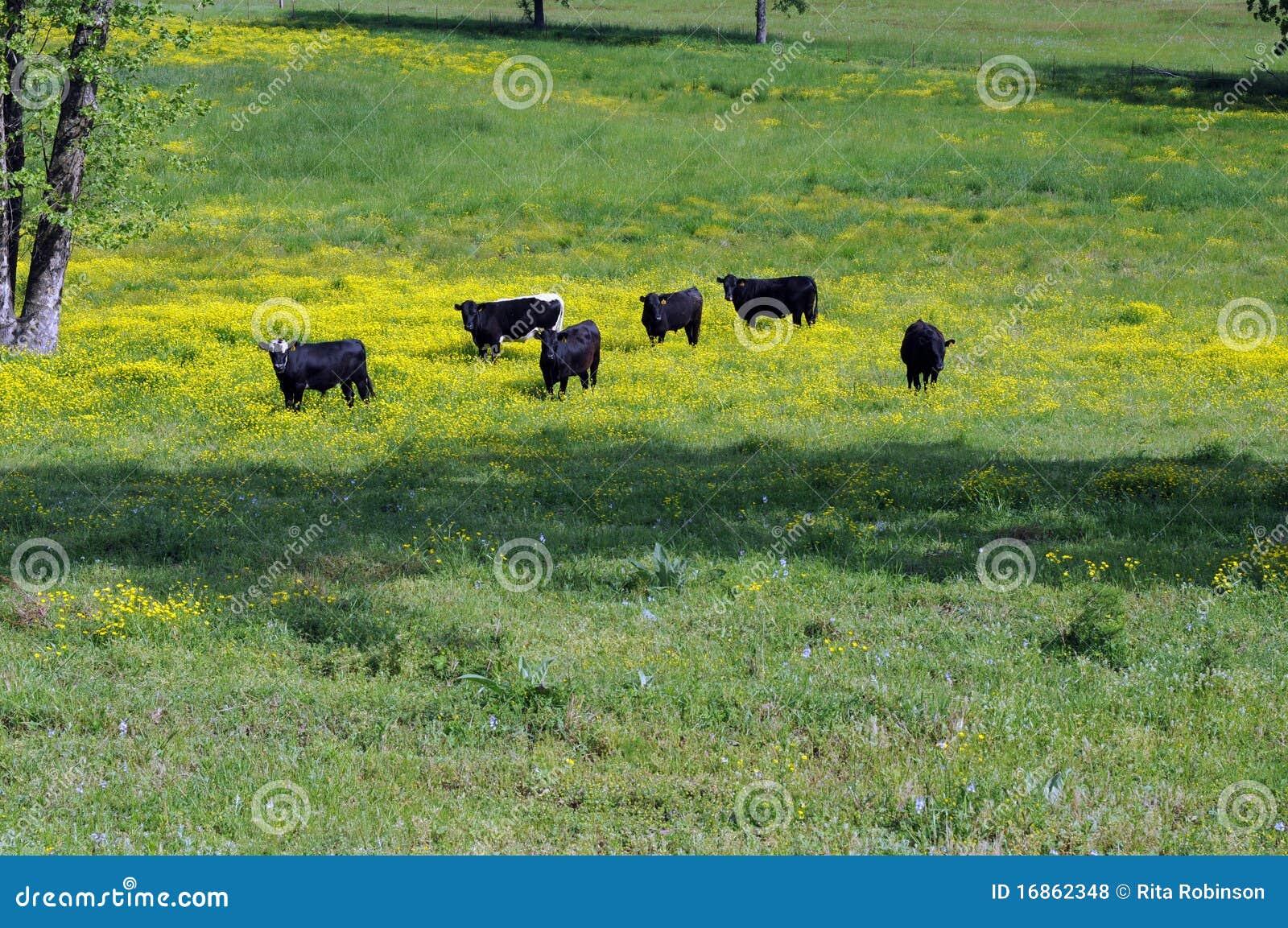 Vacas pretas