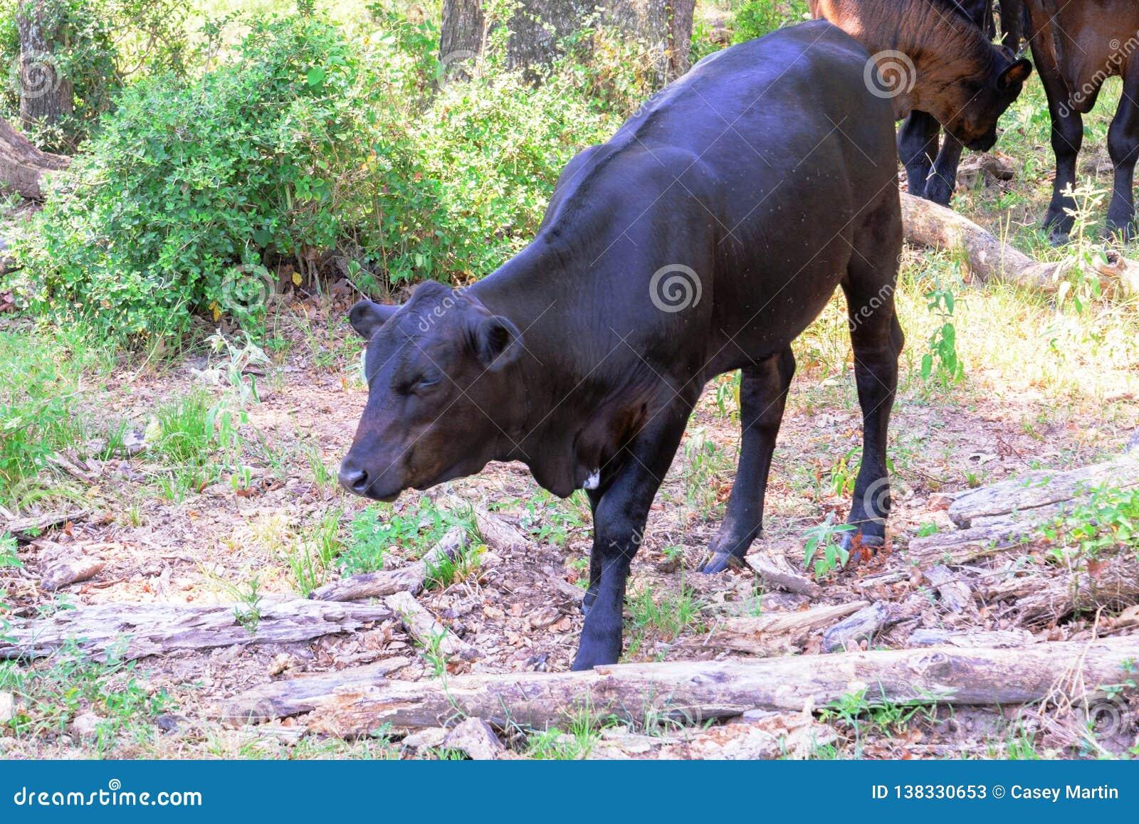 Vacas pretas que vagueiam em um rancho com grama e árvores