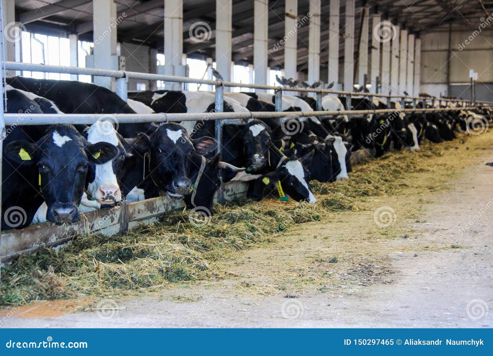 Vacas que comen el heno en establo en la granja lechera