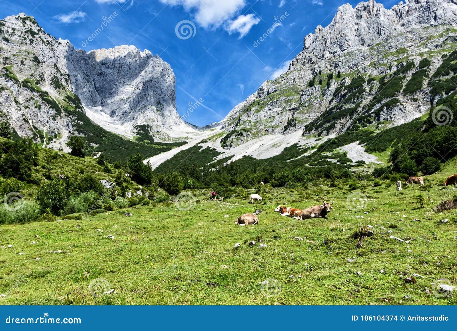 Vacas que pastam em pastos alpinos altos nos cumes Áustria, Tiro