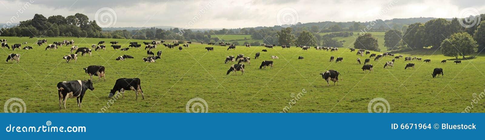Vacas que pastan en campo