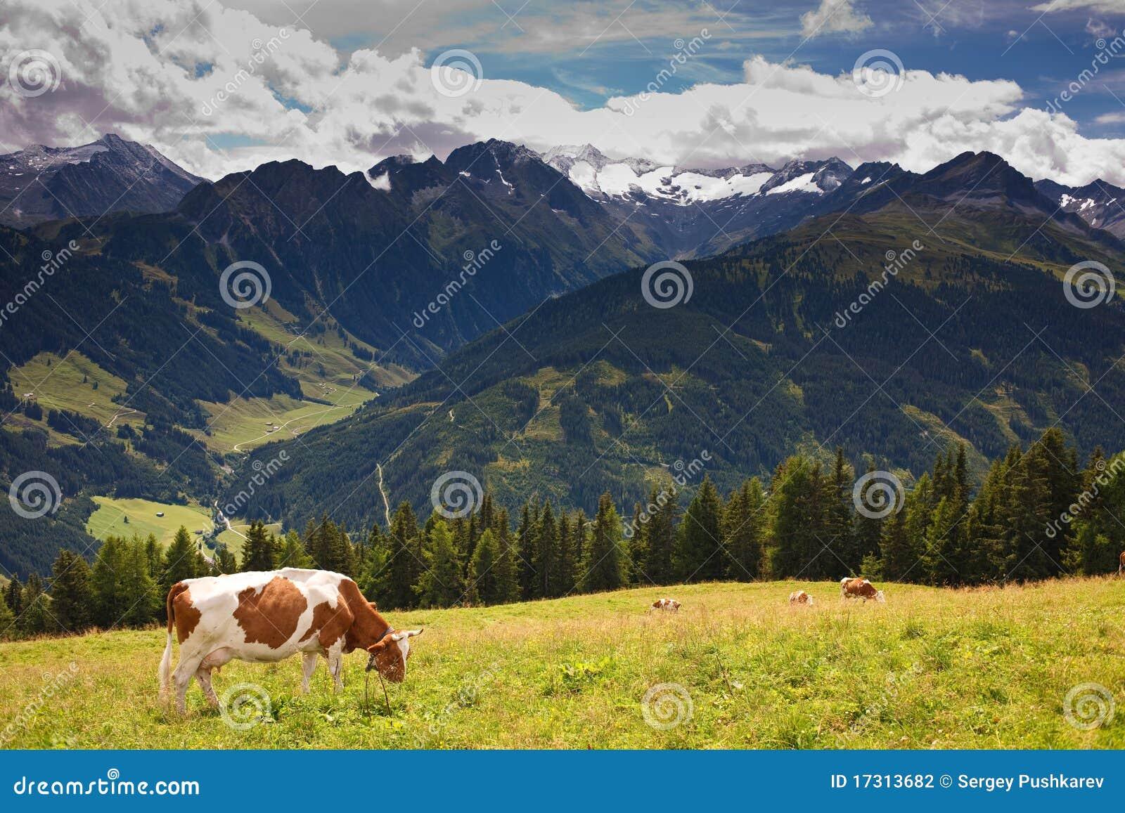 Vacas que pastan en prados arriba en las montañas