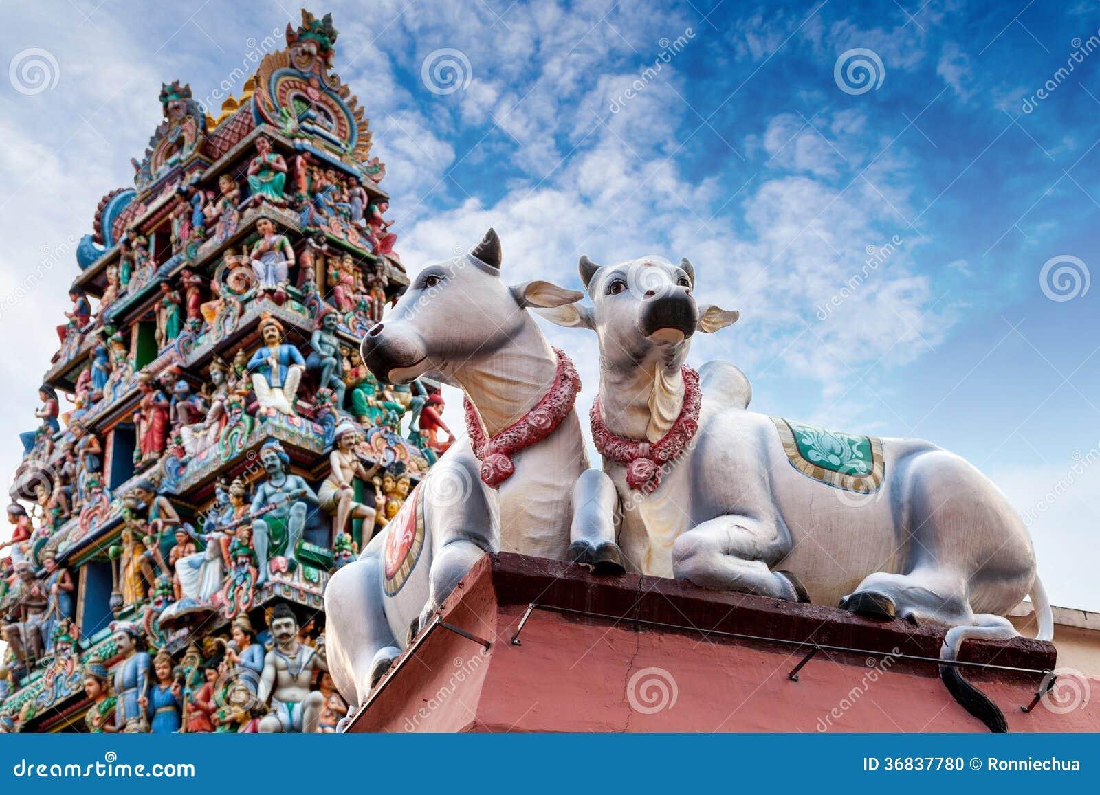 Vacas Sagradas Que Guardan Un Templo Indio Foto De Archivo Imagen 36837780