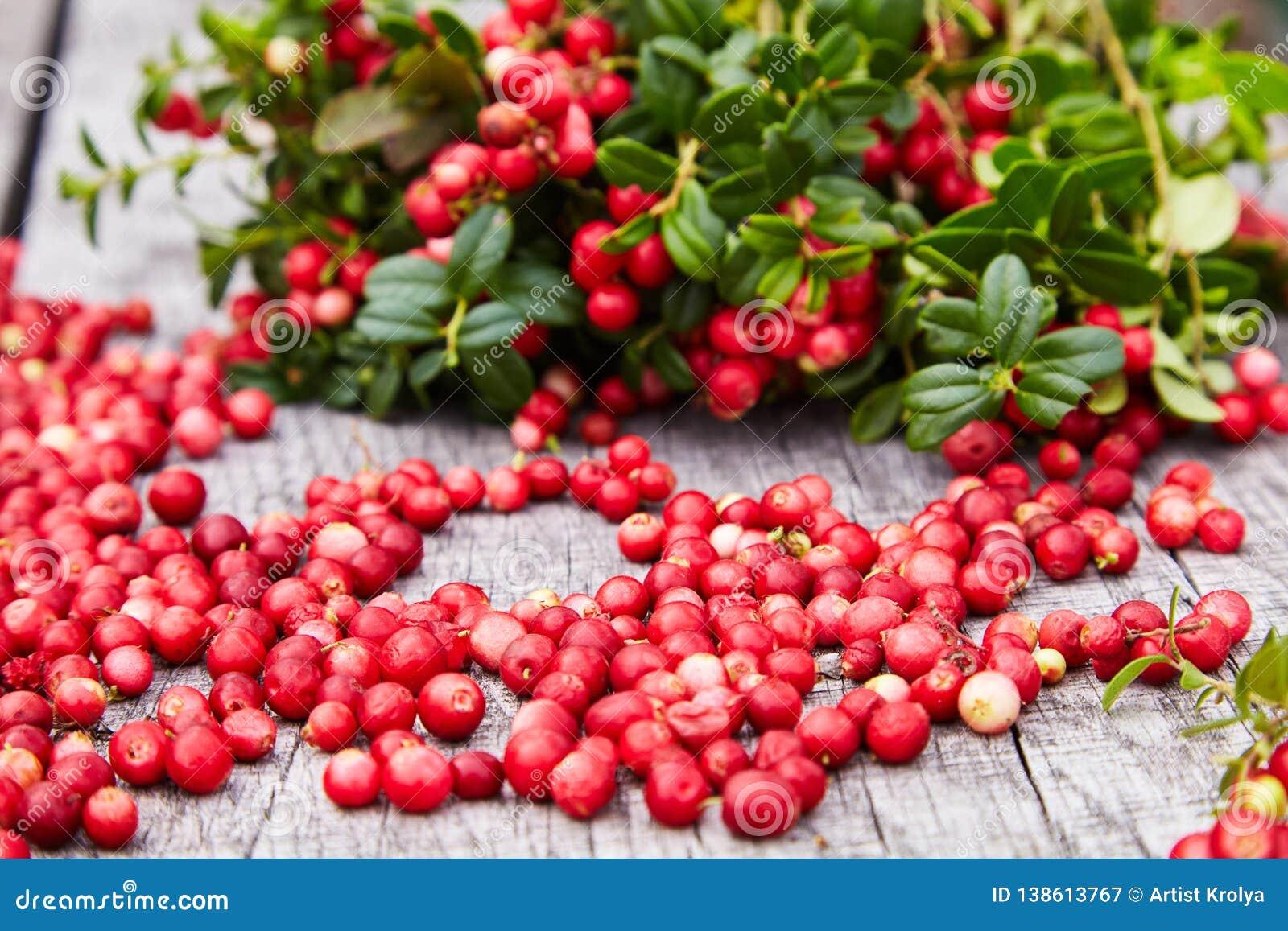 Vaccinium Vitis idaea Berries Of Wild Cowberry Stock Image   Image ...