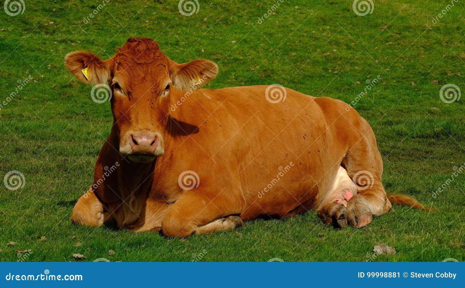 Vache à Brown dans le domaine
