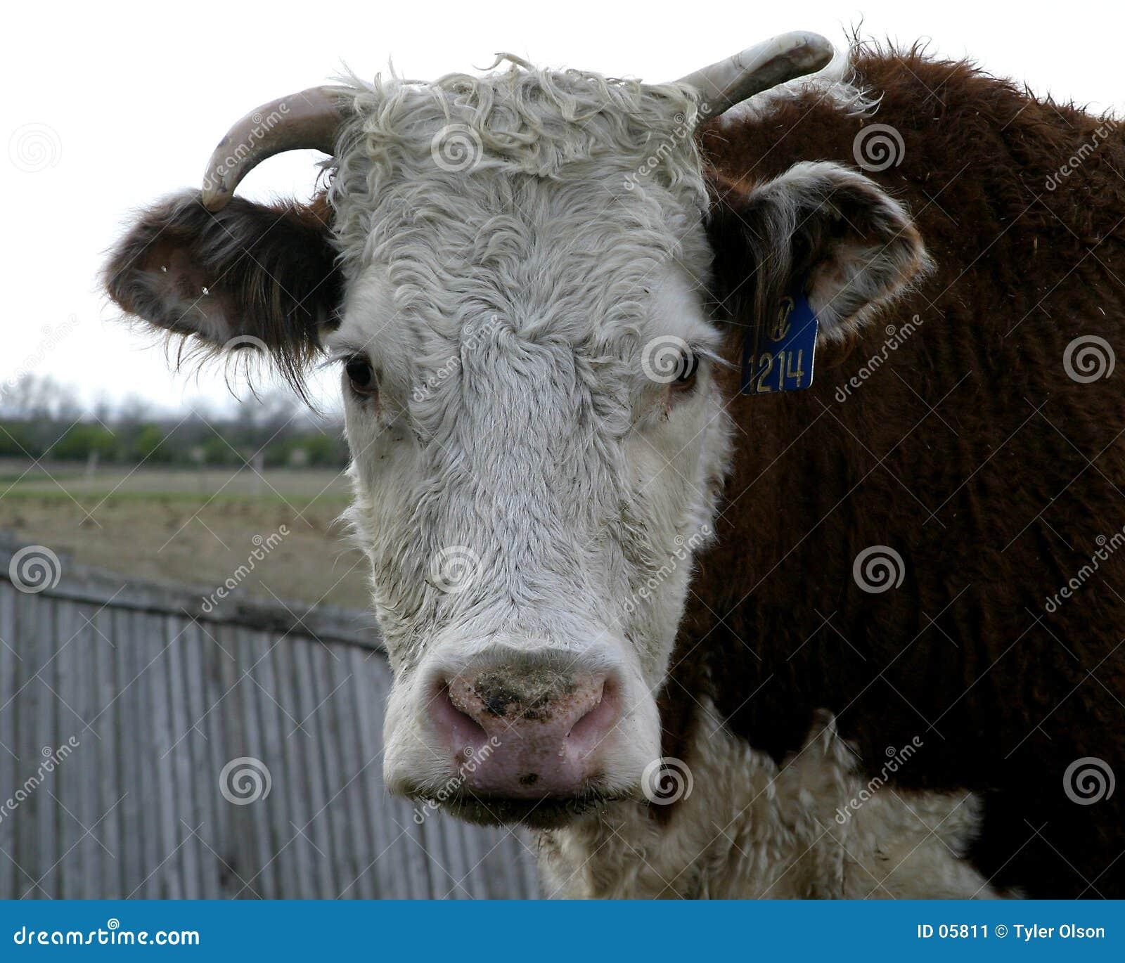 Vache à Herford