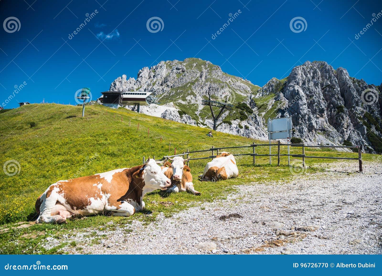 Vache à plan rapproché dans la montagne
