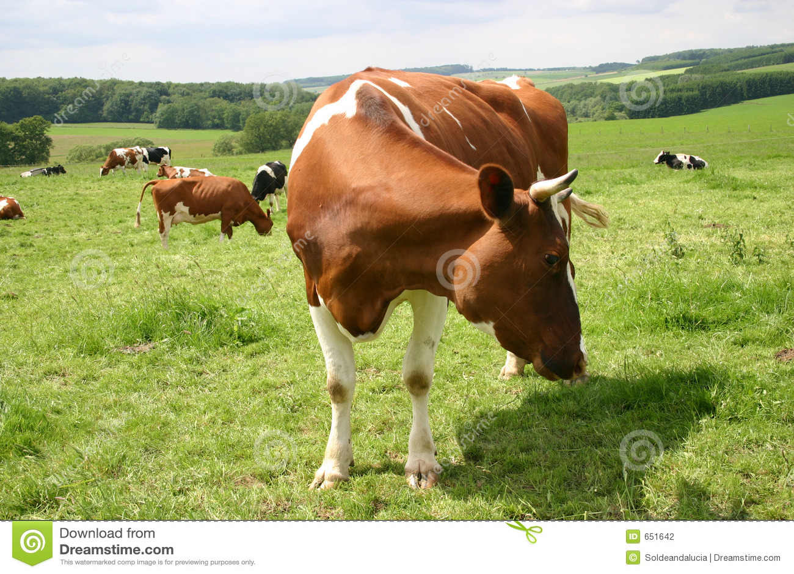 Vache allemande