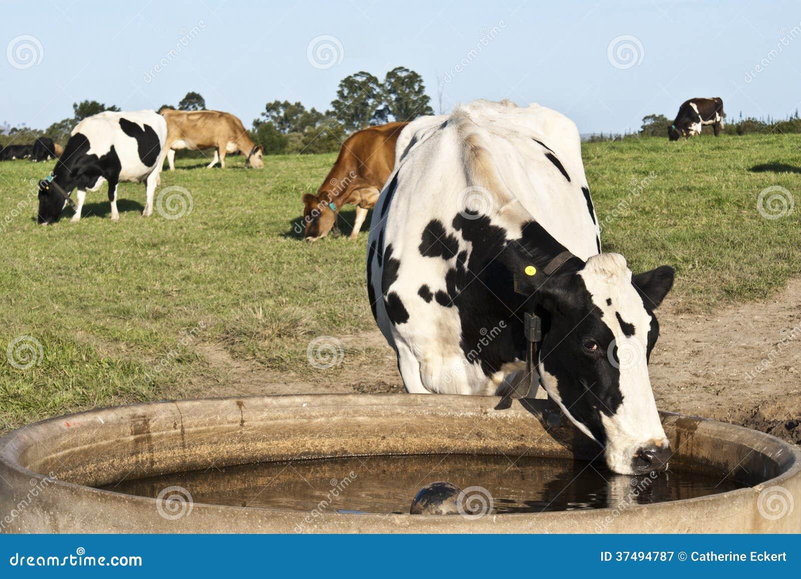 Vache assoiffée