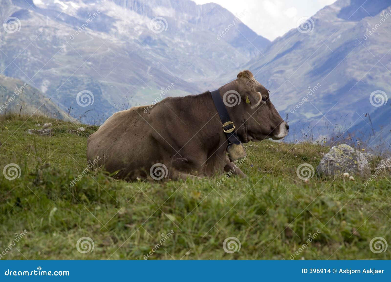Vache autrichienne
