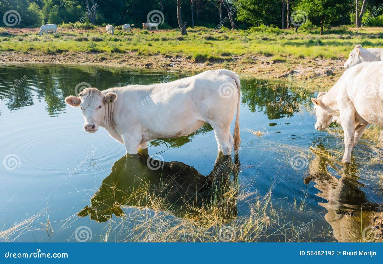 Vache blanche se tenant dans l eau