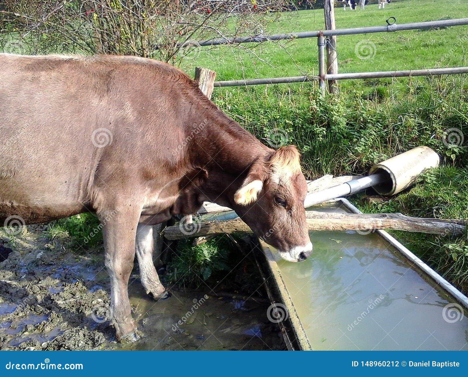 Vache, boissons assoiff?es d une vache